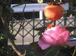PICT0012柿とバラ.jpg